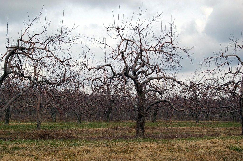potatura degli alberi da frutto